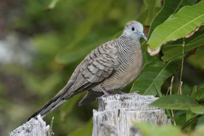 Zebra Dove (Geopelia striata) also known as a Barred Ground Dove, a common resident species in the Seychelles in Africa