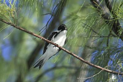 Sooty Tern (Sterna fuscata) preening, while sat in a tree on Bird Island in the Seychelles in Africa