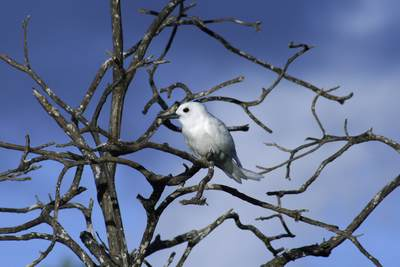 Adult White Tern (Gygis alba), also incorrectly known as a Fairy Tern in a dead tree on Bird Island in the Seychelles in Africa