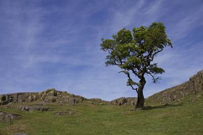 A lone twisted hawthorn tree grows in a dip close to Hadrian's Wall near Walltown Crags in Brampton, Northumbria England United Kingdom Europe