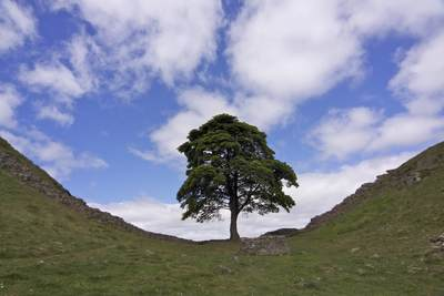 Sycamore Gap on Hadrian's Wall looking Westwards, between Housesteads and Twice Brewed, commonly referred to as 'Robin Hood's tree' after featuring in the 1991 film 'Robin Hood, Prince of Thieves' with Kevin Costner near Housesteads in Northumbria Northumberland in United Kingdom Europe