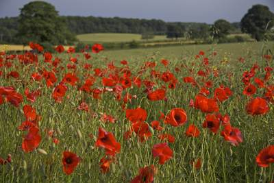 A field of red poppies (Papaver rhoeas) in North Yorkshire, England, United Kingdom Europe