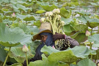 A farmer wearing a traditional straw hat and protective head gear, cuts and gathers the Lotus flowers (Nelumbo nucifera) at the Klong Mahasawasdi agro-tourism farm in Nakhon Pathom in Thailand