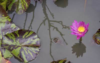 A pink water lily (Nymphaeaceae) with variagated leaves is reflected in a tub of rain water at a farm in Klong Mahasawasdi in Nakhon Pathom in Thailand