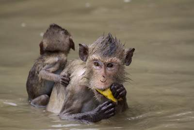 A Rhesus Macaque (Macaca mulatta) and her baby swim in the river at Klong Khon to collect and eat fruit in Samut Singkhram in Thailand