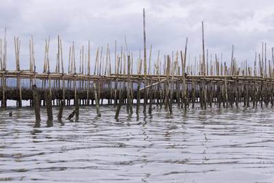 Green mussel and oyster beds made from bamboo poles, owned and tended by local fishermen, in the shallow tidal waters near Klong Khon in Samut Songkhram in Thailand