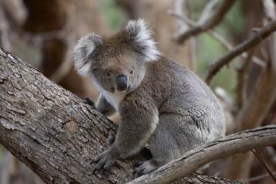 A native wild koala bear (Phascolarctos cinereus), a marsupial in a tree in Flinders Chase National Park on Kangaroo Island, South Australia