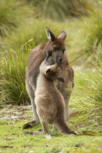 A wild female Kangaroo and her joey mutually groom in Flinders Chase National Park on Kangaroo Island, South Australia