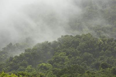 View across the canopy of the Daintree Rainforest with cloud obscuring the view, North Queensland, Australia