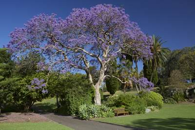 A purple flowering Jacaranda tree (Jacaranda mimosifolia),  a sub-tropical tree native to south-central South America growing in the Sydney Boanic Gardens in the spring, Sydney, New South Wales, Australia