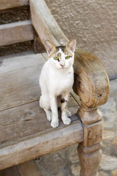 A feral cat sits on a wooden bench in an old souk market in Dubai, United Arab Emirates UAE in Asia