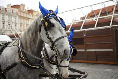 Pair of grey horses prepare to take passengers in a carriage in the centre of Prague in  the Czech Republic