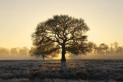 Sunrise dawn in Bushy Park, Middlesex with the sun rising behind the silhouette of an Oak tree in the winter with frosted ferns and grass, Teddington United Kingdom Europe