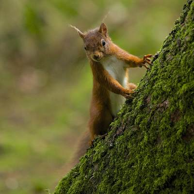 A native red squirrel (Sciurus vulgaris) rodent on a mossy tree in Kielder Water and Forest Park in Northumberland, England in United Kingdom Europe