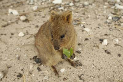 A quokka (Setonix brachyurus) the most well-known marsupial on Rottnest Island, near Perth in Western Australia