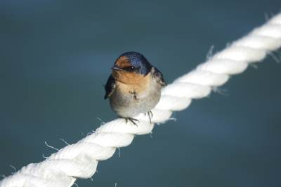 A Welcome Swallow (Hirundo neoxena) is a small passerine bird in the swallow family, balanced on a white rope it is a species native to Australia, on Rottnest Island, near Perth in Western Australia