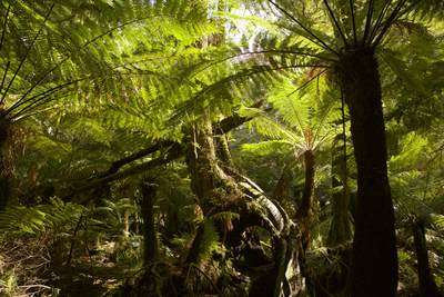Lush green trees and ferns on the Maits Rest Rainforest Trail on the Great Otway National Park, Great Ocean Road, Hordern Vale, Victoria