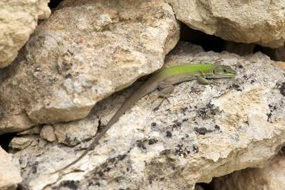 A green lizard reptile (Podarcis siculus) in a dry stone wall in South East Sicily in Italy in Europe