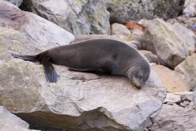 New Zealand Fur Seal (Arctocephalus forsteri) resting on rocks on a beach in Kaikoura on South Island New Zealand
