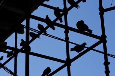 Pigeons roosting on the metal stall poles of the Mercado do Bolhao in Porto, Portugal Europe
