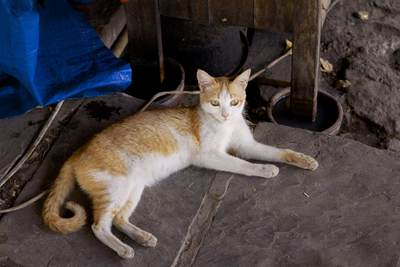 A white and ginger cat stretched out on flagstones in a temple on Mandalay Hill in Myanmar (Burma)