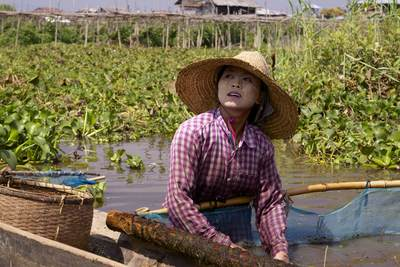 A woman in a 'paddy' hat with than aka paste on her cheeks, fishes for freshwater shrimps in Inle Lake using a large net on a bamboo frame in Myanmar (Burma)