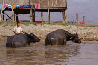 A family take their water buffalo to the river inlet from Inle Lake to cool them down and wash them in Myanmar (Burma)