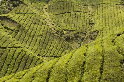 Terraced tea plantations of the 'Boh' tea company with evergreen bushes of tea leaves (Camellia sinensis), growing in the Cameron Highlands in Malaysia