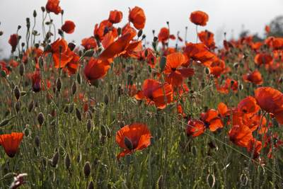 Red field poppies (Papaver rhoeas, Papaver rhoeas) in a field in West Yorkshire, England, United Kingdom Europe